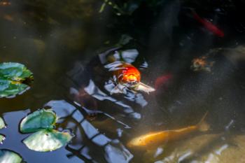A happy Koi Fish in our backyard Koi Pond Installation