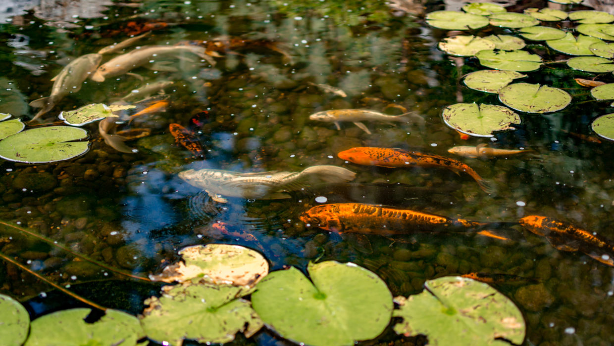 Gold Fish and Koi Pond Design and Construction