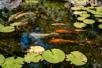 Koi Pond near Tyrone, PA