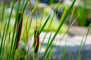 Close up of cattails growing in one of our water feature installations